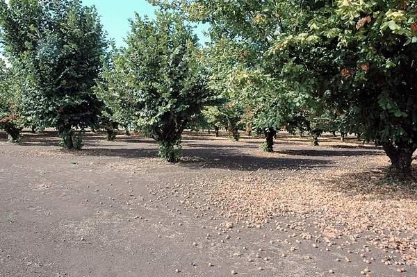 Study shows fungicides effectively limit hazelnut disease