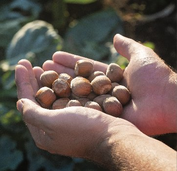 """China Trade Dispute Could Be """"Win-Win"""" for U.S. Hazelnut Growers, Consumers"""