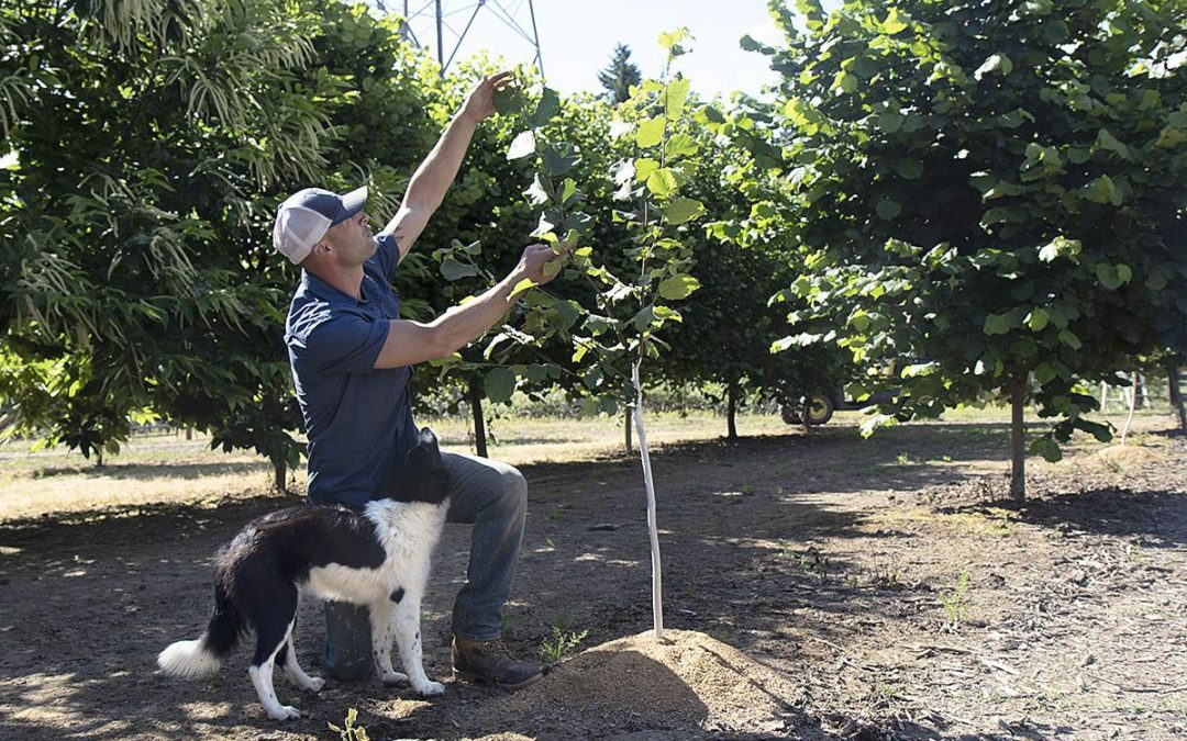 Nuts for Hazelnuts: Growers Can't Keep Up with Demand