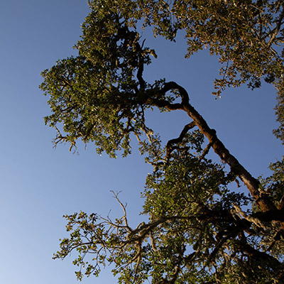 Oak tree against a blue sky